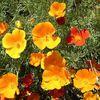 캘리포니아양귀비-노랑 씨앗 5g
