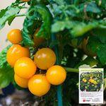 황금 누리마루 토마토 씨앗 (20립)