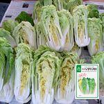 아시아 노랑미니배추 씨앗 (1000립)