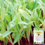옥수수 새싹 씨앗 (30g)