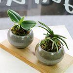 공기정화식물-풍란세트(원예종)