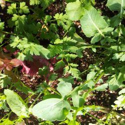 루꼴라등 샐러드용 채소모종 5종 35포기