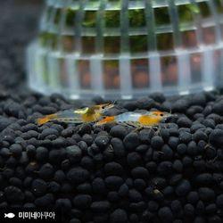 오렌지 릴리 쉬림프 1마리 (0.81cm급)