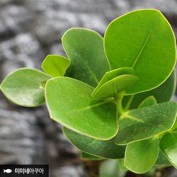 후루시아 나무