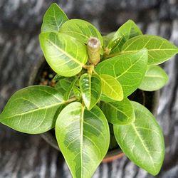 뱅갈고무나무 1포트