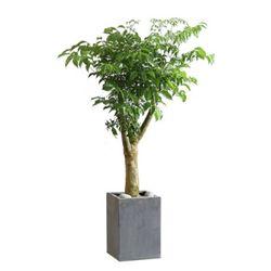 서울경기개업식행사 공기정화식물 DR 행복나무