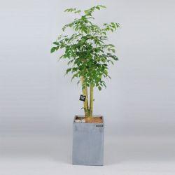 서울경기개업식행사 공기정화식물 DR 녹보수