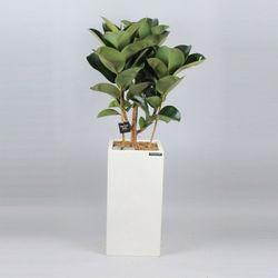 서울경기개업식행사 공기정화식물 DR 고무나무