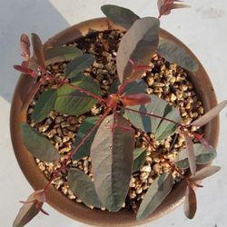 유칼립투스 로즈검(rose gum) 3개(10cm화분)