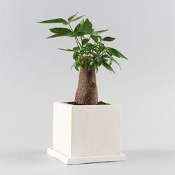 공기정화식물 고급모던컬러화분 FM 파키라