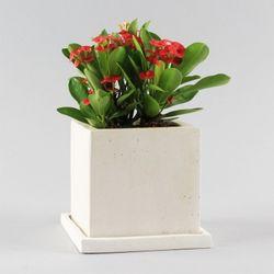 공기정화식물 고급모던컬러화분 FM 꽃기린