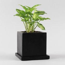공기정화식물 고급모던컬러화분 FM 싱고늄