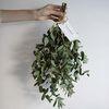 향 유칼립투스 파블로 공기정화식물 미슬토