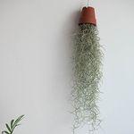 수염 틸란드시아 코코넛 화분 먼지흡착 공기정화식물