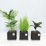 숯화분 - 테이블야자 율마 고무나무(공기정화식물)