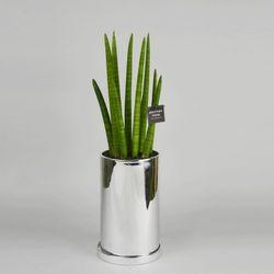 중형 공기정화식물 고급 로즈골드 실버 스투키