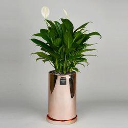 중형 공기정화식물 고급 로즈골드 실버 스파트필름