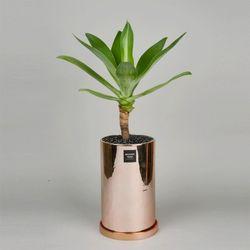 중형 공기정화식물 고급 로즈골드 실버 아가베