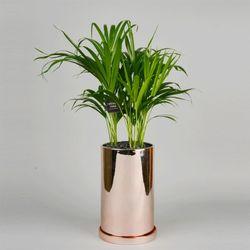 중형 공기정화식물 고급 로즈골드 실버 아레카야자