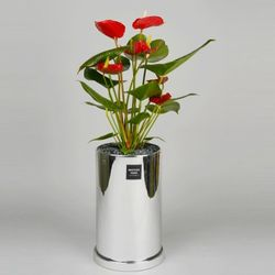 중형 공기정화식물 고급 로즈골드 실버 안스리움레드