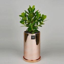 중형 공기정화식물 고급 로즈골드 실버 크루시아