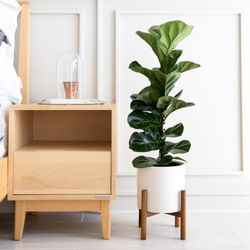 떡갈고무나무 외 3종 인테리어식물