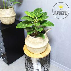 공기정화식물 뱅갈고무나무 + 해초바구니