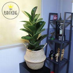 공기정화식물 인도고무나무 + 해초바구니