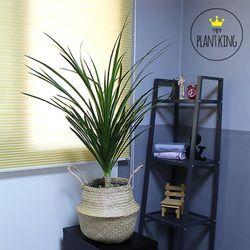 추위에 강한 공기정화식물 드라코 + 해초바구니