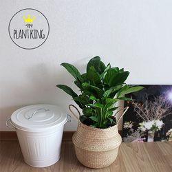 공기정화식물 스파트필름 + 해초바구니