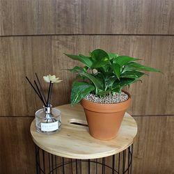 공기정화식물 스킨답서스 독일토분 화분