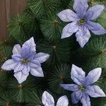 포인꽃 12cm 라벤더