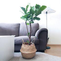Home[중대형 떡갈고무나무+해초바구니]