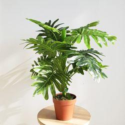 셀렘 조화나무