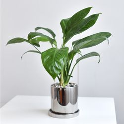스파티필름 공기정화 식물 인테리어 화분