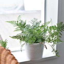 넉줄고사리 공기정화 식물 인테리어 화분