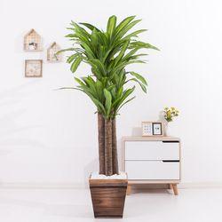 행운목 155cm 2-5 FREOFT(조화나무)