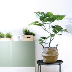 Home[움베르타 고무나무+해초바구니]
