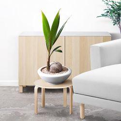 카프리[코코넛야자나무]