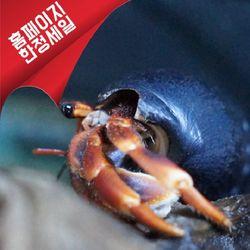 인도네시아 허밋 크랩 (Tiny)