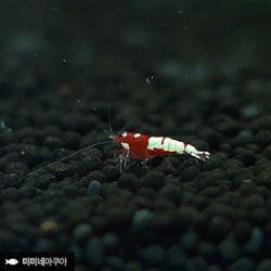 레드 핀토 노말 (0.8cm급)