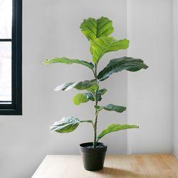 떡갈 고무나무 Black Pot 세트(90cm) + 갈색토분