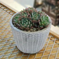 나뭇잎 패턴 시멘트 다육 화분 (다육포함)