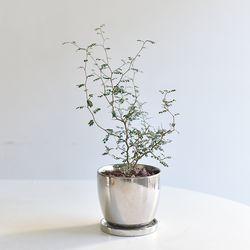 소포라 인테리어 화분 키우기쉬운 식물