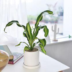 드라세나 공기정화 키우기쉬운 인테리어 식물