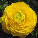 라넌큐러스 씨앗-겹꽃 (10립)