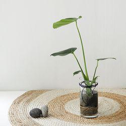 수경식물 - 몬스테라 유리화병set