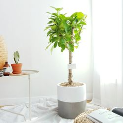 뱅갈고무나무 테라코타화분 세트 중형 (서울퀵)