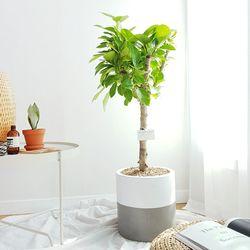 뱅갈고무나무 테라코타화분 세트 중형 (경기퀵)