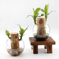 공기정화 수경식물 샤베트행운목 24종